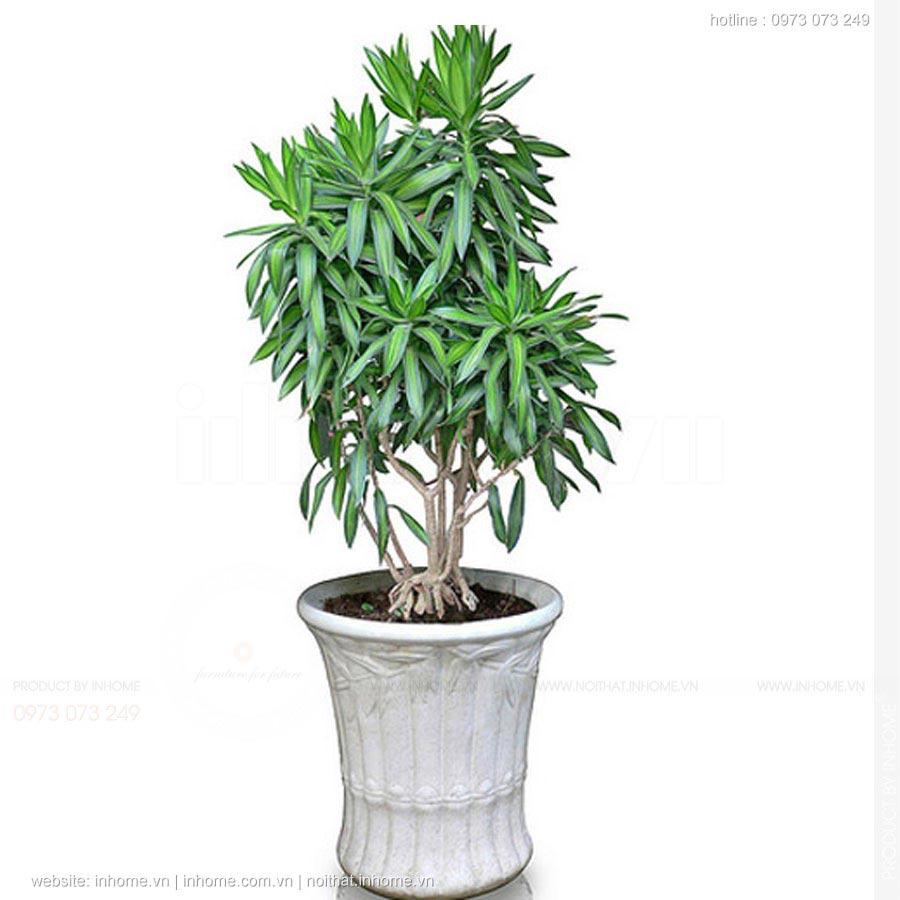 Các loại cây cảnh đẹp trong nhà mang lại may mắn sức khỏe cho gia chủ